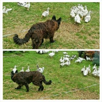 Vlanie et les oies