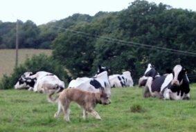 Un ado chez les Holsteins